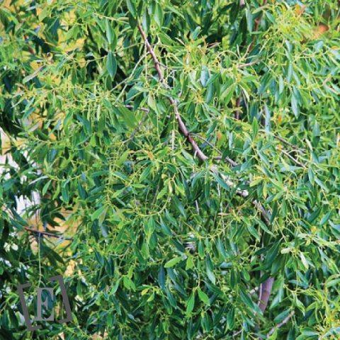 HE de Tea Tree